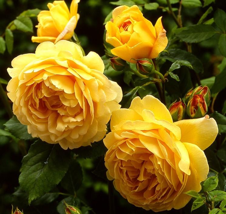 Когда сажать розы весной?