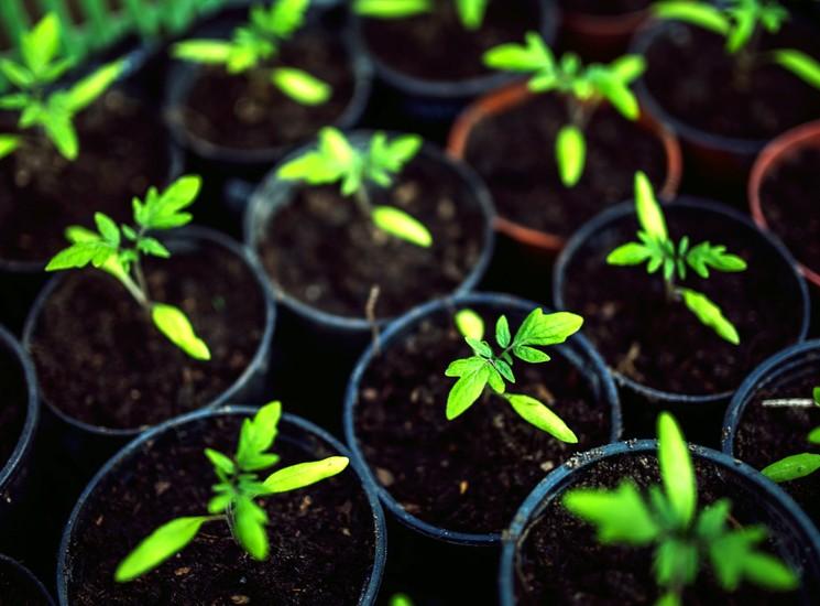 Как выращивать рассаду?