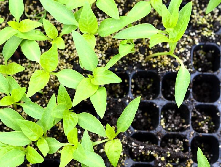 Перец - посадка рассады перца в открытый грунт