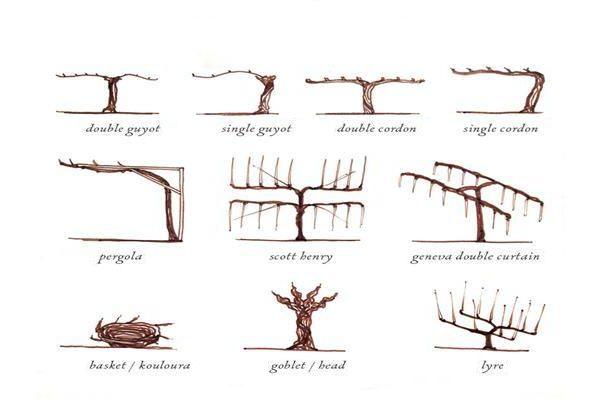 Как формировать куст винограда?