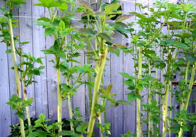Рост малины после обрезки