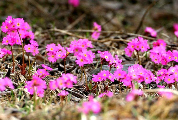 Розовые примулы