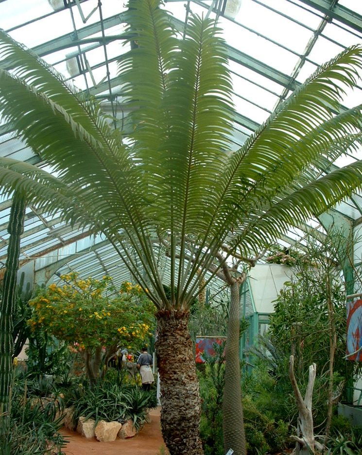 Саговая пальма в оранжерее