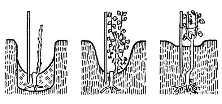 Схема посадки саженцев винограда
