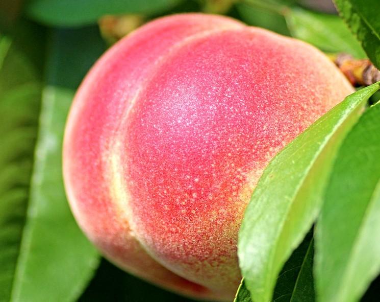 Сорта и разновидности персика