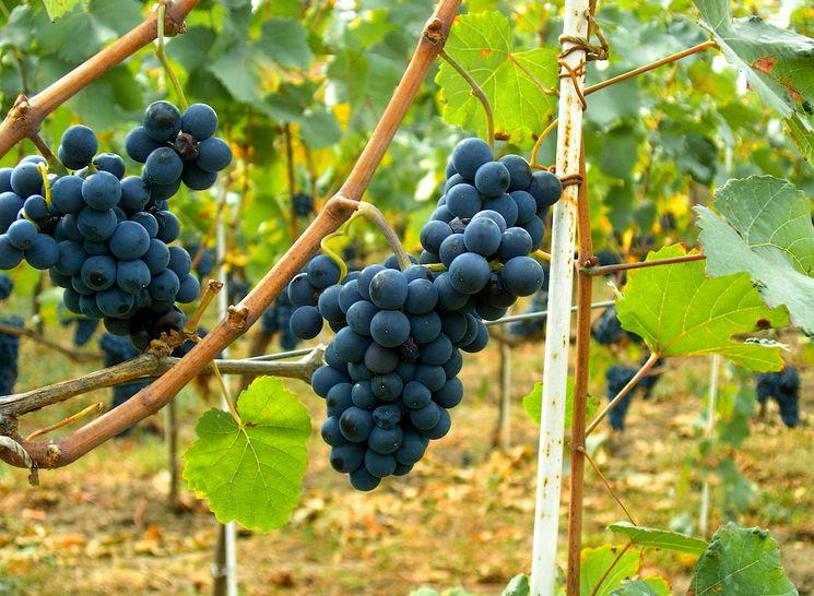 Сорт винограда Черный изумруд