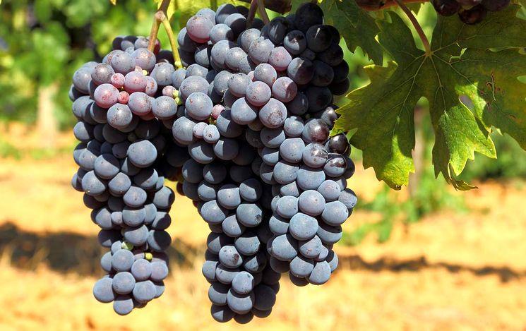 Сорт винограда Пино