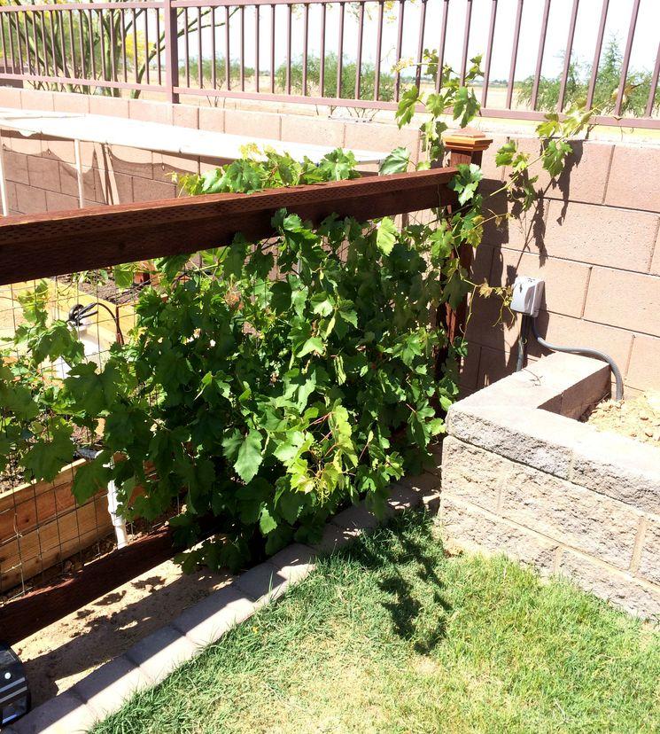 Траншейный способ выращивания винограда