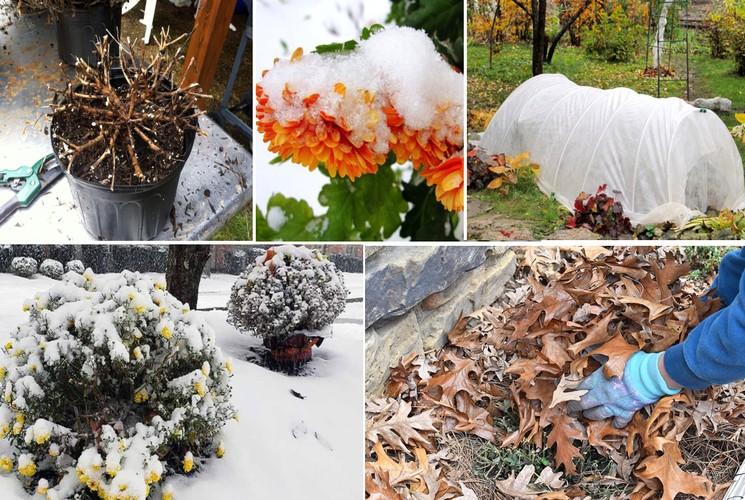 Способы укрытия хризантем на зиму