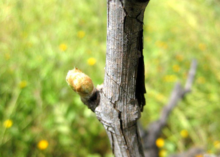 Сроки обработки винограда весной