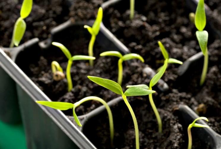 Сроки посева семян перца