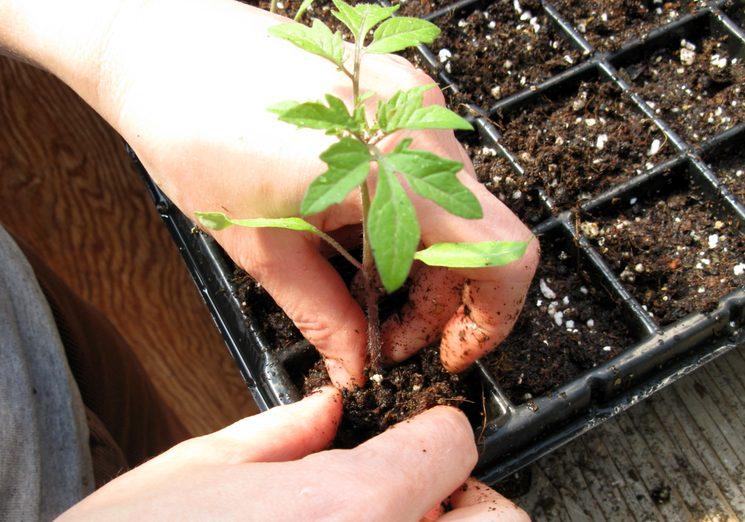 Температурный режим содержания рассады томатов