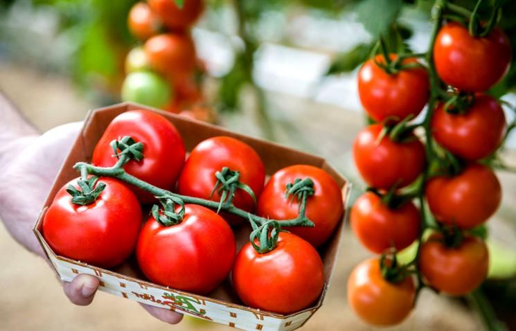 Тепличные сорта и гибриды томатов