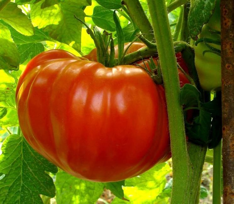 Сорт томатов Король гигантов