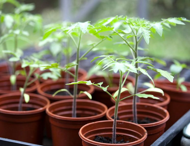 Выращивание рассады без пикирования