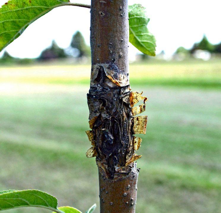 Цитоспороз яблоневого дерева
