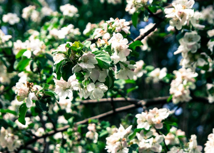 Цветение яблони в саду