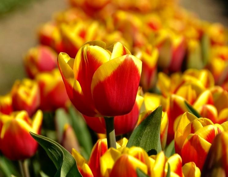 Тюльпаны осенью - когда и как сажать луковицы тюльпанов под зиму