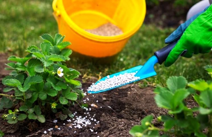 Удобрение клубники весной - минеральные и органические подкормки