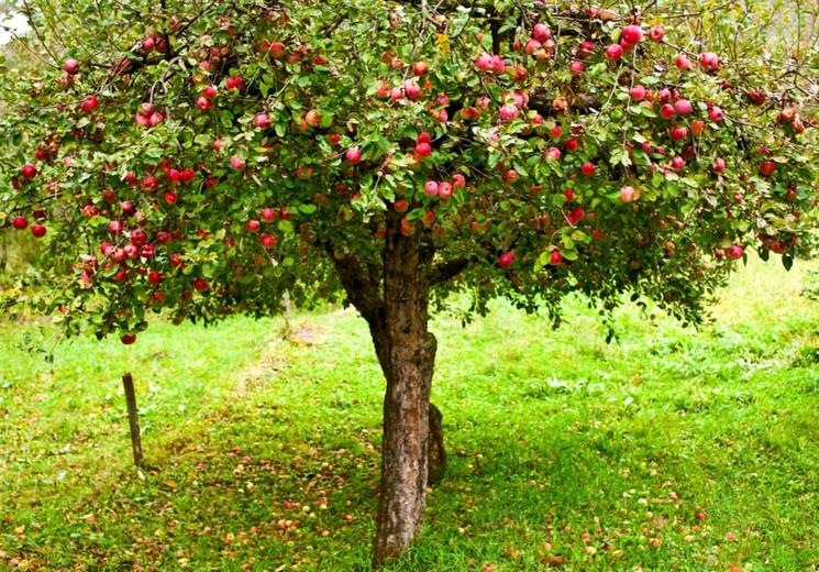 Весеннее удобрение и подкормка фруктовых деревьев