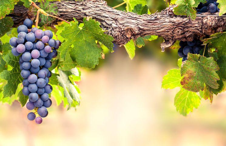 Правила выращивания винограда
