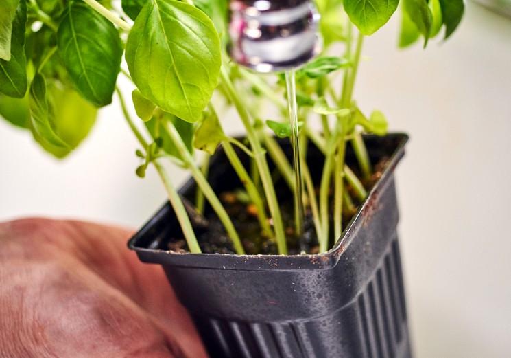 Выращивание базилика - полив