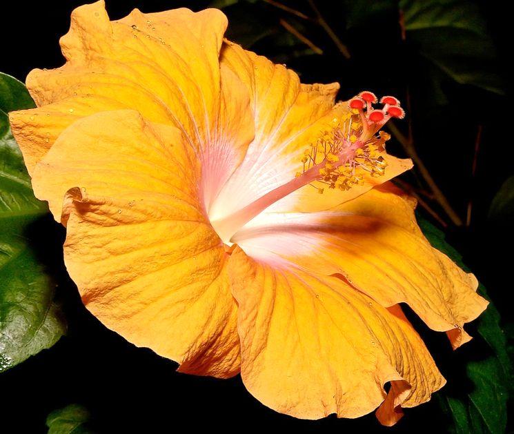 Выращивание гибискуса дома