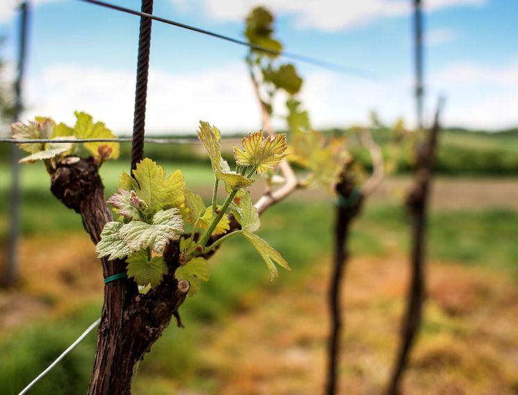 Советы для начинающих виноградарей