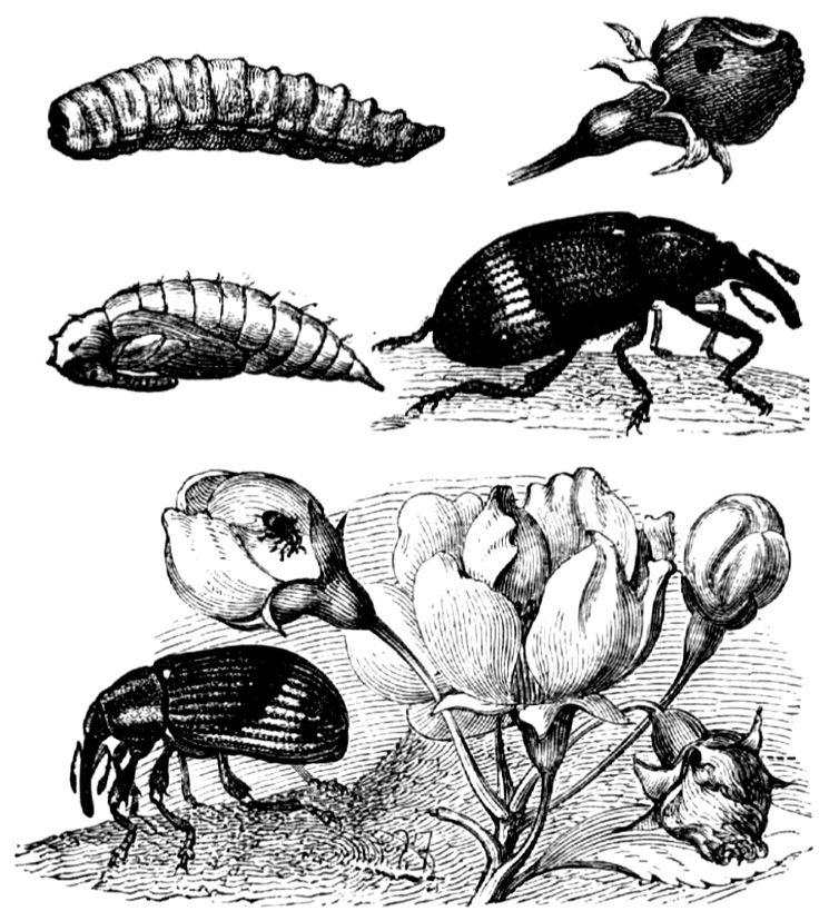 Яблонный цветоед - семейства долгоносиков (Curculionidae)