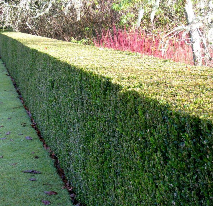 Забор из самшита вечнозеленого