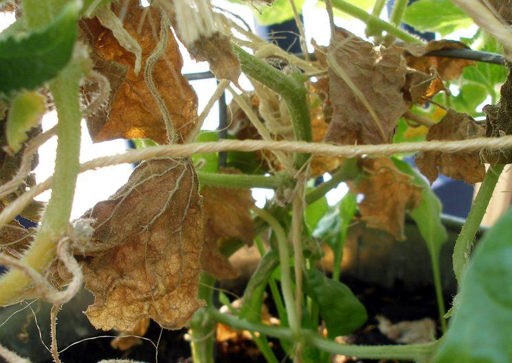 Защита огурцов от болезней в теплице